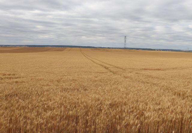 Ein hellbraunes Getreidefeld bis zum Horizont.