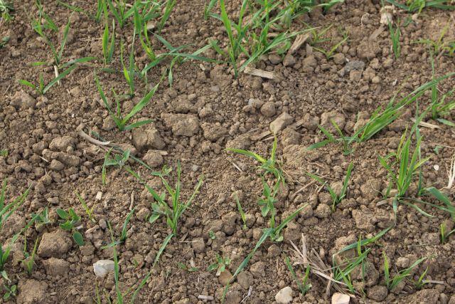 Vertrockneter Ackerboden mit wenigen grünen Pflänzchen.