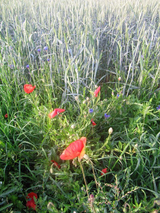 Rote Mohnblüten und blaue Konrblumen in einem Getreidefeld.