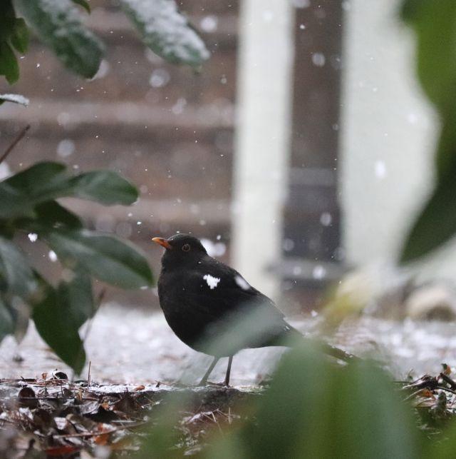 Amsel bei Schneefall. Eine größere Schneeflocke hängt an ihren Federn.