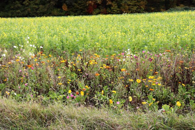 Ein farbenprächtiger Blühstreifen mit unterschiedlichen Blüten. Dahinter ein Rapsfeld, das gelb blüht.