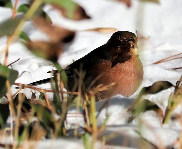 Buchfink mit rötlich-brauner Brust hat ein Nussstückchen im Schnabel.
