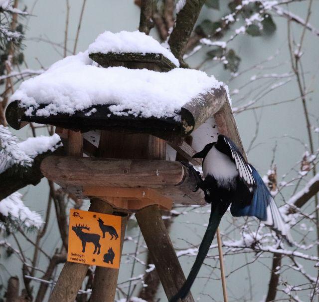 Elstern an einem Futterhäuschen im Winter. Sie hält sich fest mit halb geöffneten Flügeln.