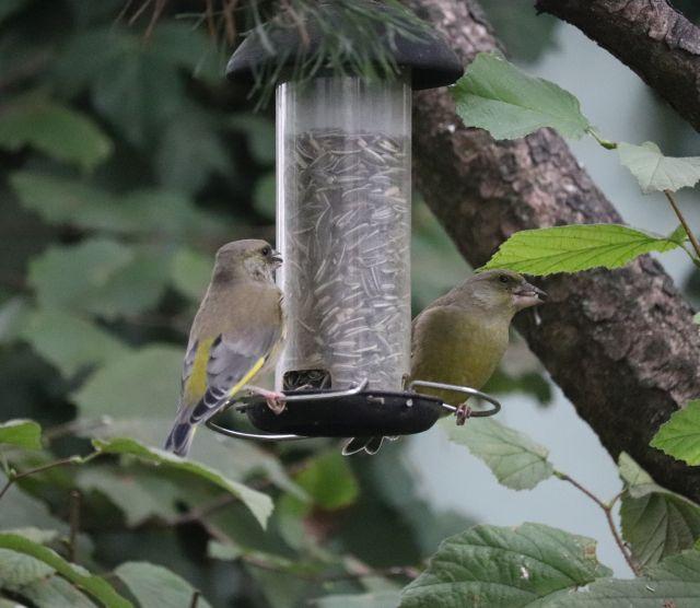 Zwei Grünfinken sitzen an einem Futterhäuschen.
