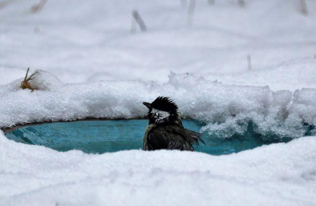 Eine Meise badet in einem bläulichen Vogelbad. Ihr schwarzer Kopf und der weiße Hals sind gut zu sehen. Ringsherum Schnee.