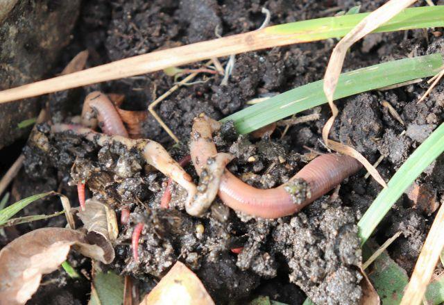 Dicke und dünnere Regenwürmer auf und halb unter der lockeren Erde.