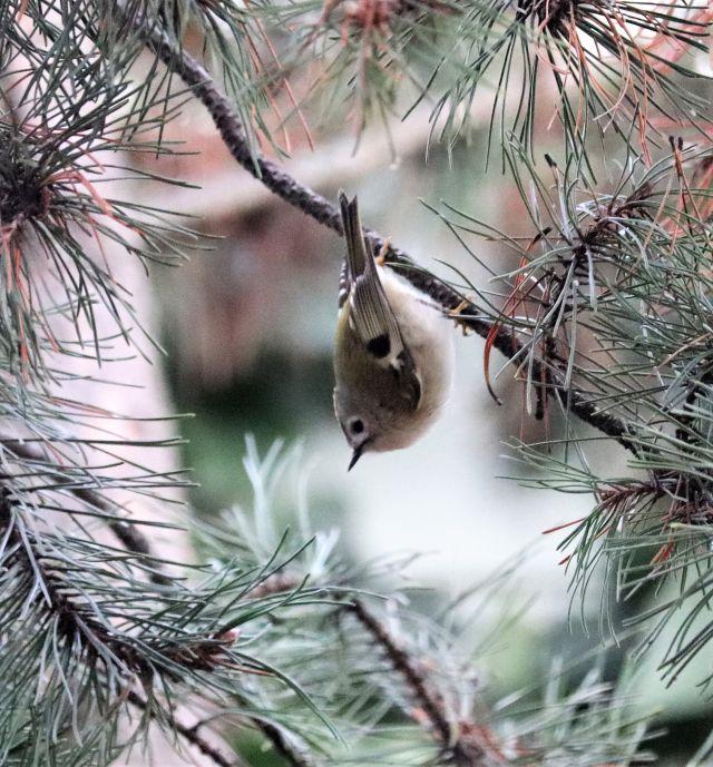 Ein Wintergoldhähnchen hängt mit dem Kopf nach unten an einem Kiefernast.
