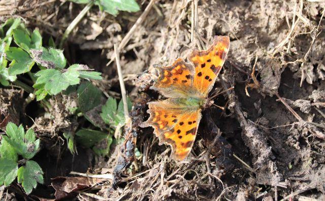 Ein Schmetterlin sonnt sich auf dem Boden. Ein C-Falter mit braun-orangenen Flügeln und einem Körper mit grünlichen Härchen.