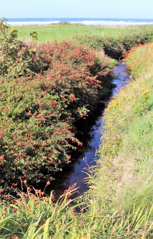 Rot blühende Fuchsien an einem kleinen Bachlauf. Im Hintergrund auflaufende Wellen am Meer.