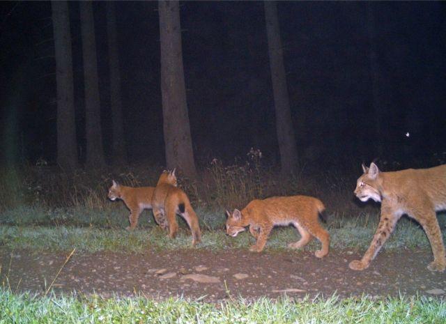 Eine Luchsin mit drei JUngtieren im nächtlichen Wald.