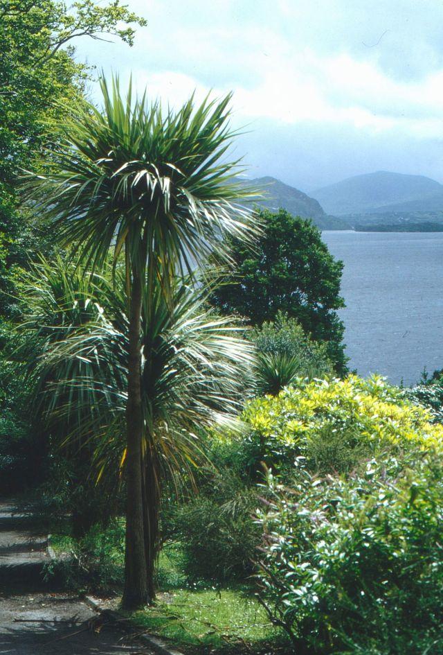 Palmen und wärmeliebende Sträucher, dahinter Berge und ein blauer Himmel. Sie Szene mutet südländisch an, doch sie wurde im irischen Kerry aufgenommen.