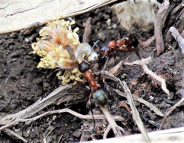 Zwei Ameisen transportieren eine gelbliche Blüte.