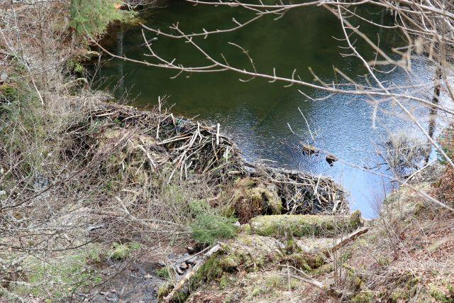 Ein Biber hat einen Damm aus Ästen und dicken Holzknüppeln gebaut. Der Bach ist aufgestaut.