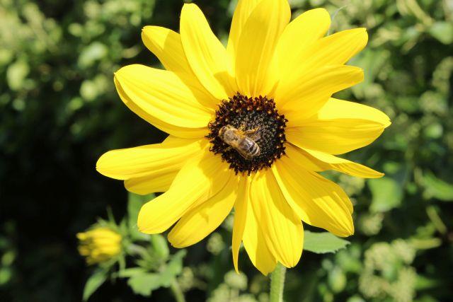 Eine Biene sitzt in der Mitte einer Blüte mit gelben Blütenblättern und einem braunen Innenteil.