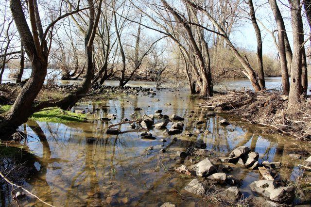 Auwald am Rhein: Einzelne Bäume stehen im Wasser, dort liegen auch Steine.