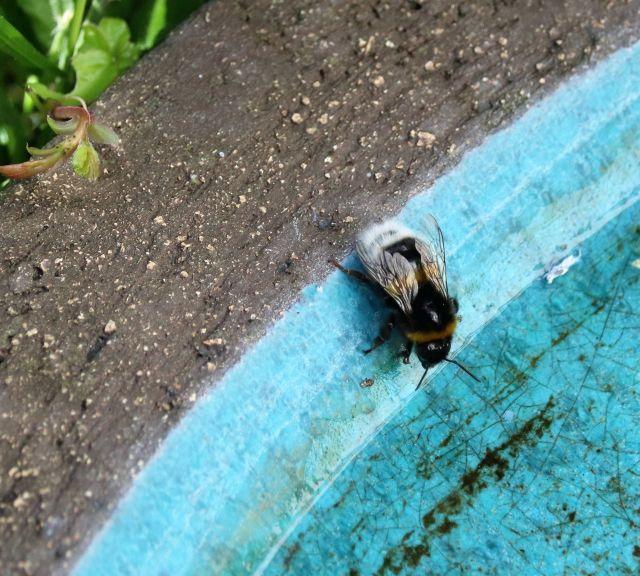 Eine Wildbiene an einer Vogeltränke.