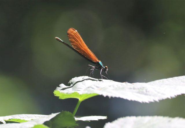 Eine Libelle auf einem Blatt. Ihre Flügel sind rostrot.