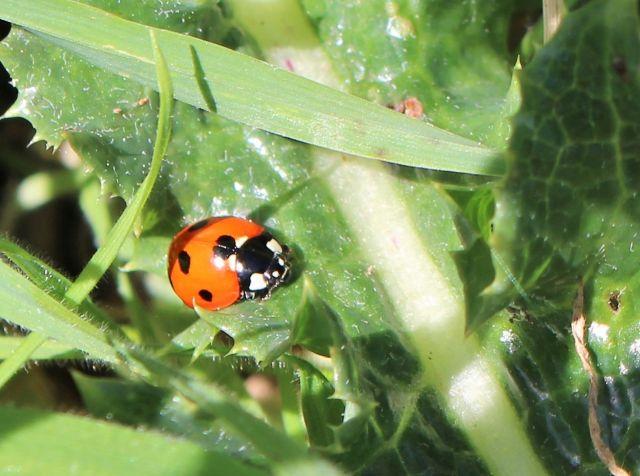 Marienkäfer - rot mit schwarzen Punkten - am grünen Blatt einer Distel.