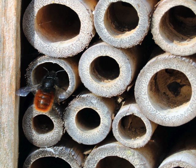 Eine Mauerbiene sitzt an einem Insektenhotel. Mehrere der Röhren sind bereits teilweise mit Brutrkammern belegt.