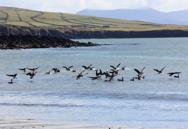 Ringelgänse (braun-grau) landen in einer Bucht.
