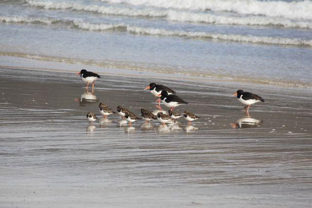 Schwarz-weiße Vögel - Austernfischer - und kleinere Steinwälzer mit weißem Bauch und braun-geschecktem Rücken.