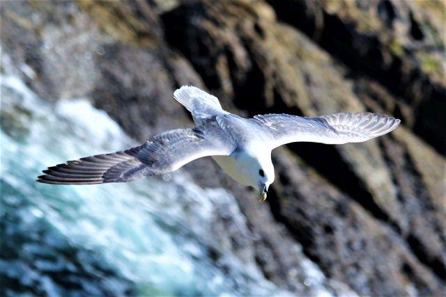 Ein Eissturmvogel von oben (von einer Klippe) aufgenommen. Unter ihm das brodelnde Meerwasser. Die Schwingen hält der Vogel starr. Sie sind gräulich.