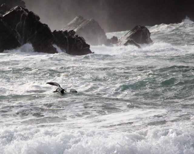 Stürmische See. Wellen laufen in eine Bucht, das Wasser brodelt. Eine Möwe schnappt sich ihre Beute aus dem tosenden Wasser.