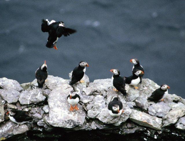 Papageitaucher - Puffins - auf einer Klippe über dem Meer. Ein Vogel landet gerade. Sie sehen aus wie im Frack. Schwarze Rückenfedern, weiße Brust, bunter Schnabel.