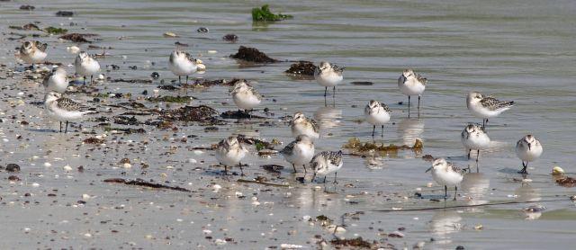 Eine Gruppe von Sanderlingen, kleinen Watvögeln. Weiße Federn am Bauch, Rücken grau-braun marmoriert.