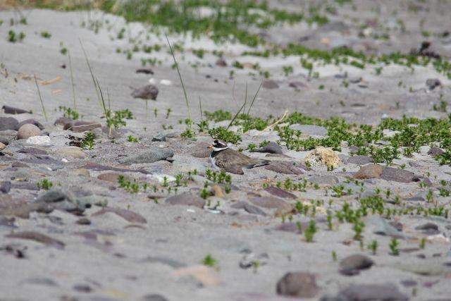 Aus der Ferne aufgenommen und schwer erkennbar: ein Sandregenpfeifer sitzt auf seinem Nest. Der grau-braune Rücken ähnelt dem umgebenden Sand und den Steinen.