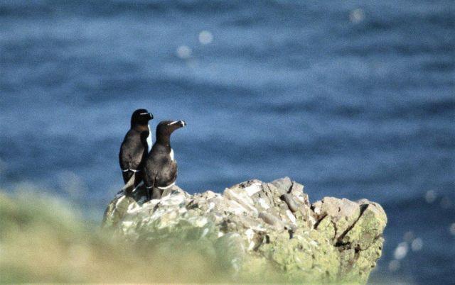 Zwei Vögel auf einer Klippe, dahinter die Meeresoberfläche. Die Tordalks sind weitgehend schwarz auf dem Rücken, vorne weiß.