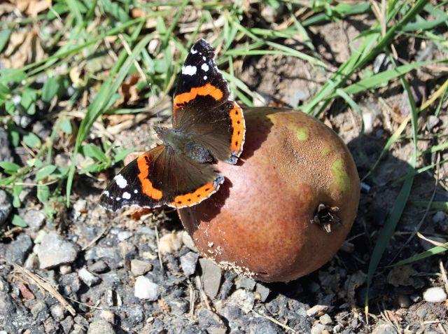 Ein Schmetterlin - Admiral - sitzt auf einem Apfel.