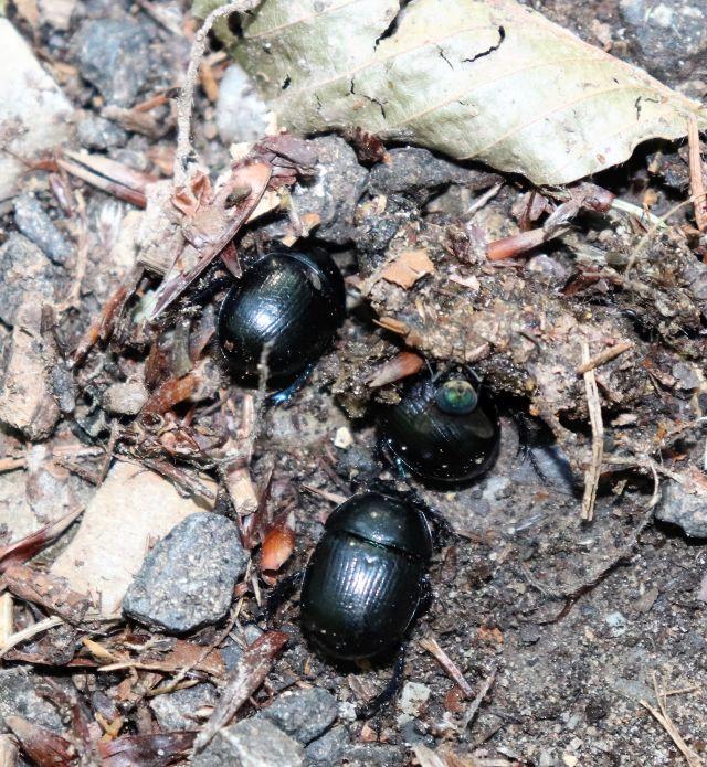 Drei schwarze Waldmistkäfer an tierischem Kot. Eine grünliche Fliege sitzt auch daran.