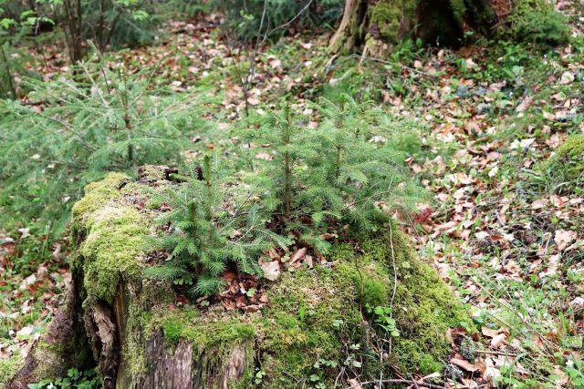 Aus einem Baumstumpf und daneben wachsen kleine Fichtenbäumchen.