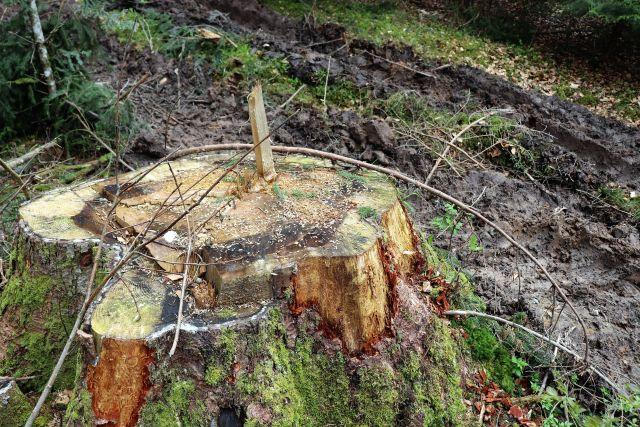 Ein Baumstumpf, aus dem ein Holzteil nach oben ragt. Der Stamm wurde vor kurzer Zeit abgesägt. Daneben aufgewühlter Waldboden - eine Rückegasse.