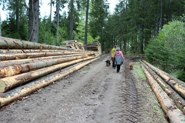 Zwei Personen wandern mit zwei Hunden einen Waldweg entlang, der von gefällten Baumstämmen gesäumt wird.