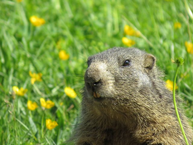 Ein Murmeltier mit braunem Fell und hellerer Nase sitzt zwischen gelben Blumen und Gras.