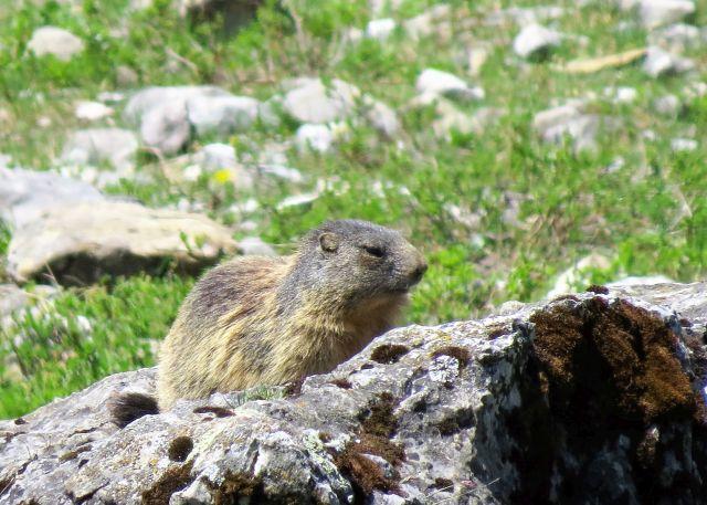 Ein Murmeltier auf einem grauen Felsbrocken.