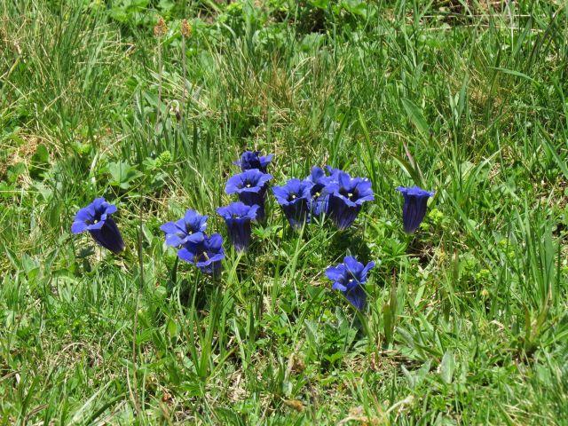 Blauer Enzian auf einer Wiese.