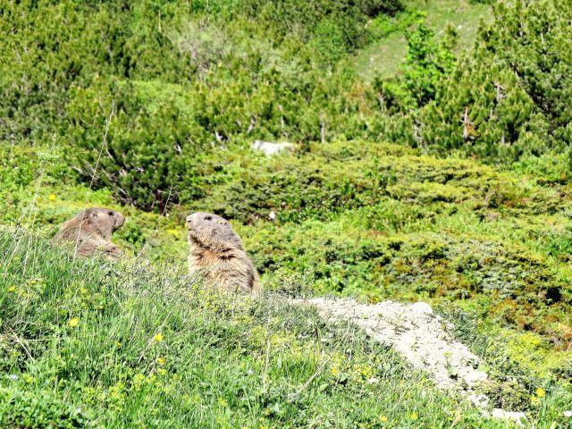 Zwei Murmeltiere, neben ihnen Erde, die sie aus dem Bau geschafft haben.