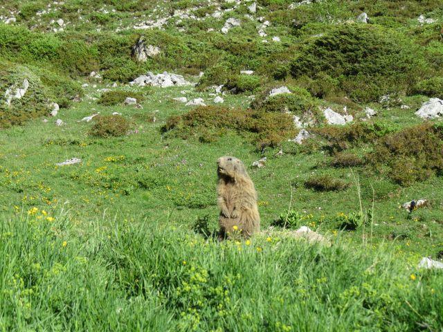 Murmeltier auf den Hinterpfoten. Kärgliches Gras und niedrige Büsche umgeben es.