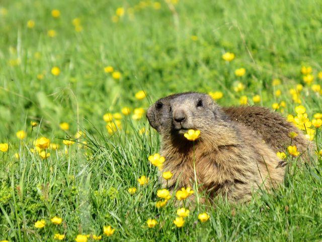 Zwei Murmeltiere sitzen auf einer Wiese in den Alpen. Gelbe Blumen und grünes Gras. Eines schaut in Richtung Kamera.