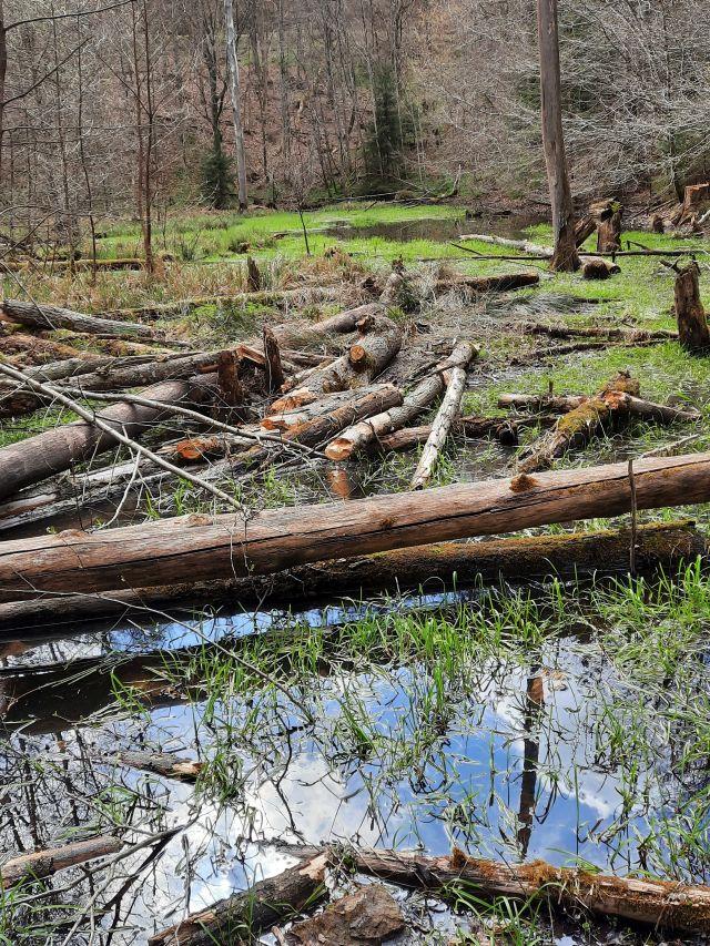 Ein kleiner Tümpel im Vordergrund, dahinter umgestürzte Baumstämme. Hinter dem Totholz ein größerer Tümpel.