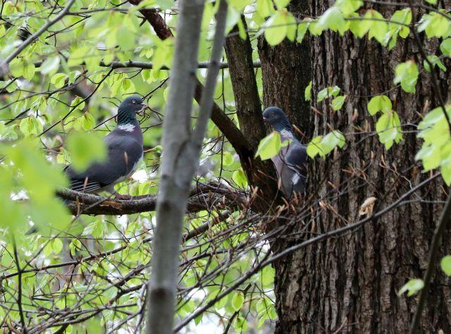 Zwei Waldtauben sitzen auf dem Ast eines knorrigen Baums. Sie sind umgeben vom lichten Frühlingsgrün.