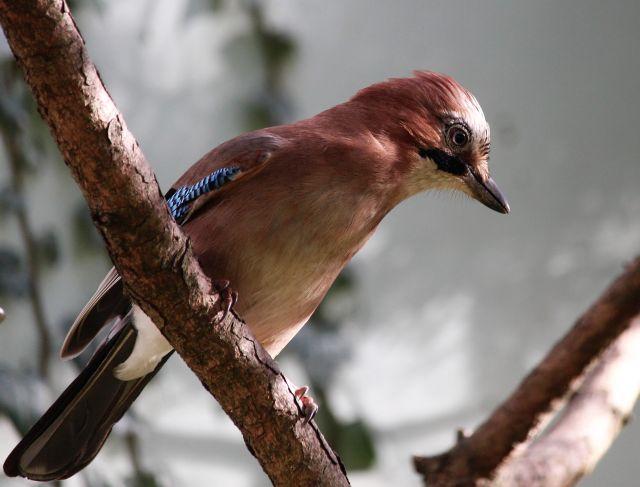 Ein Eichelhäher sitzt auf einem Ast. Sein kurzer kräftiger Schnabel ist erkennbar. Körper und Hald sind rötlich-braun. Die Schwanzfedern sind schwarz, seitlich weiße und blaue Federn.