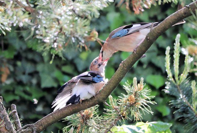 Ein erwachsener Eichelhäher füttert einen Jungvogel. Der Schnabel des Elterntiers ist tief in den Schnabel des Jungen versenkt.