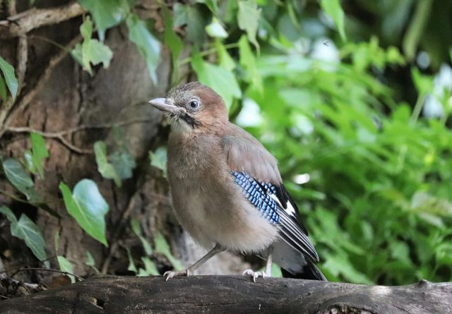 Ein junger Eichelhäher mit kurzen Schwanzfedern.