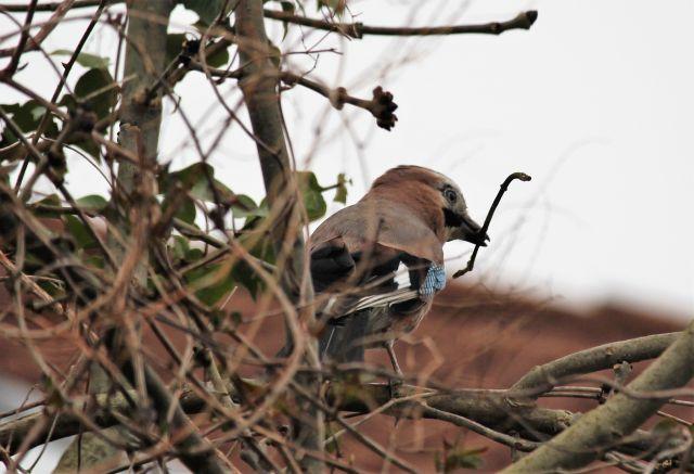 Ein Eichelhäher mit einem kleinen Ästchen im Schnabel für den Nestbau.