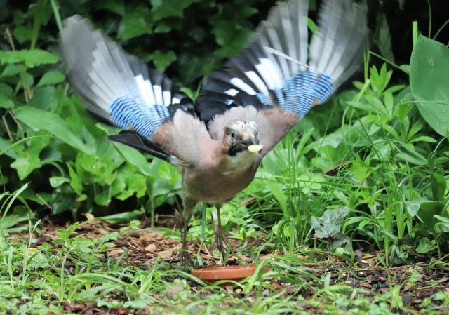Ein startender Eichelhäher mit einer halben Erdnuss im Schnabel. Die Flügel sind weit ausgebreitet.