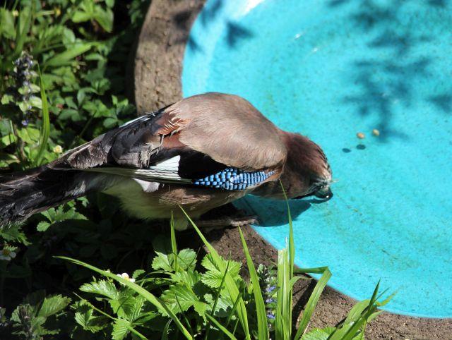 Ein Eichelhäher trinkt tief nach vorne gebeugt aus einer blauen Vogeltränke.